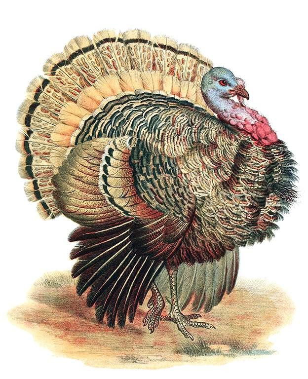 wild-turkey-768