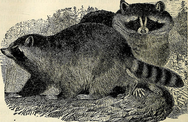 children's own library 1910 raccoon