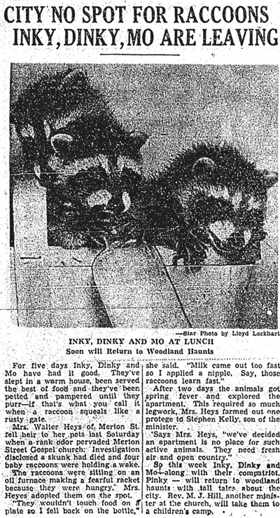 star 1952-05-22 city no spot for raccoons