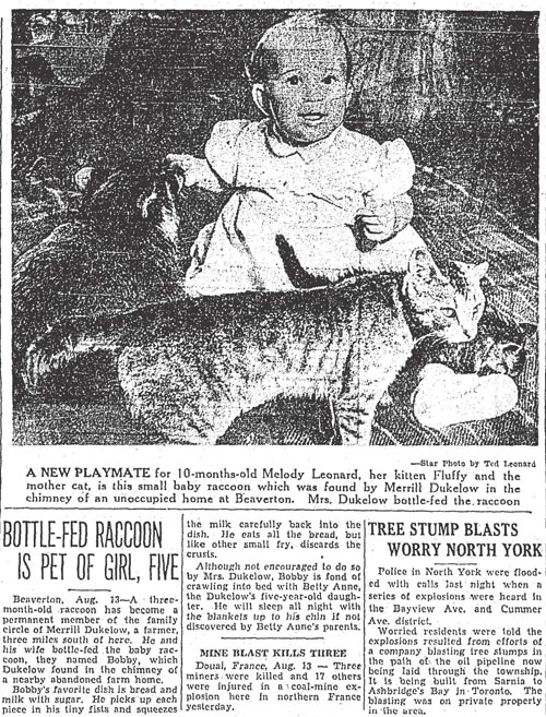 star 1952-08-13 beaverton girl bottle feeds raccoon